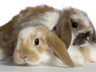 Esterilización o Castración en conejos