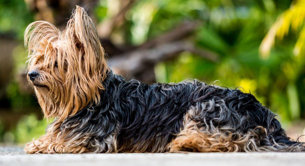 #3. Yorkshire terrier