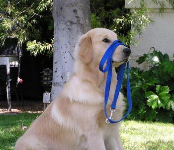 Cómo adiestrar a un perro en casa