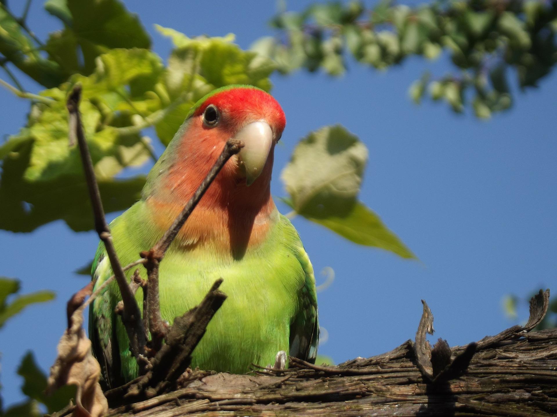 Pájaros agapornis