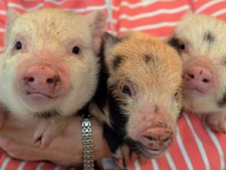 Aprende a cuidar de un Mini Cerdo