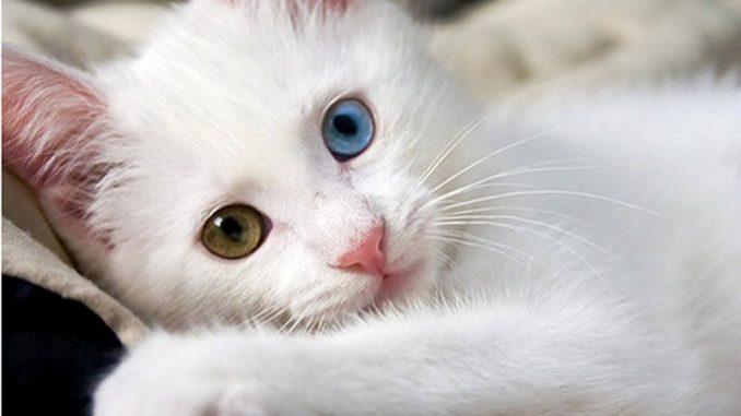 La maravillosa raza de los gatos Angora