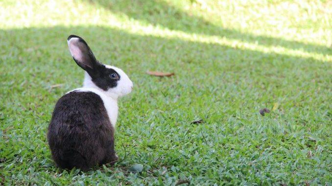 Te contamos cuál es el origen del conejo