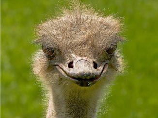 Cualidades del avestruz