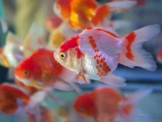 Enfermedades comunes en peces de acuario c mo prevenirlas for Enfermedades de peces goldfish