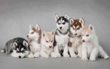 Tres razas de perros que se parecen a los lobos