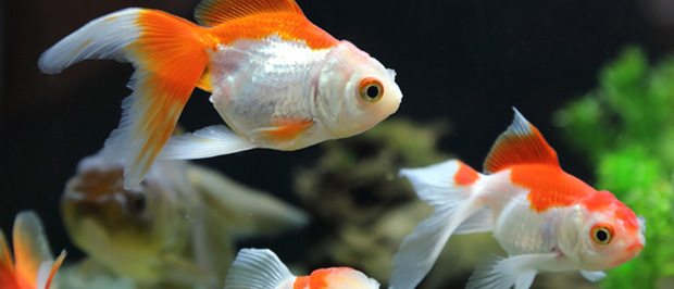 Porque mueren los peces de acuario for Peces de pecera