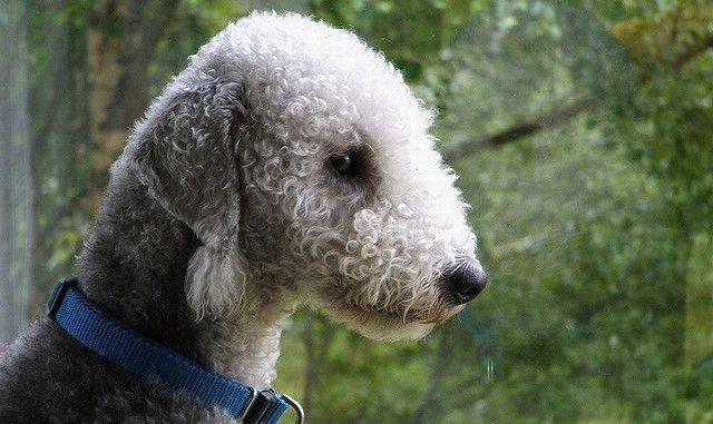 Conoce las razas de perros hipo alergénicas