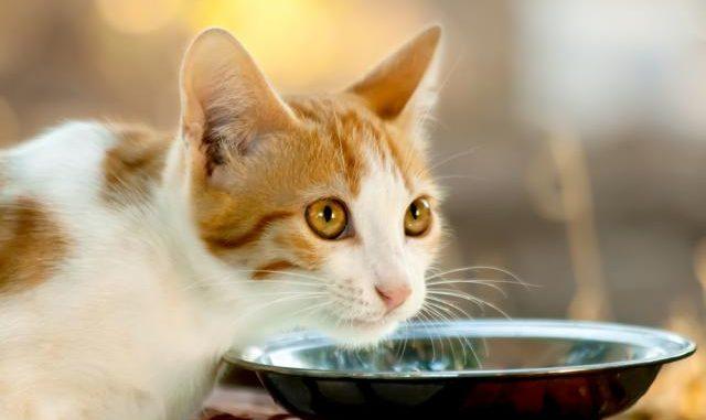 Consejos de Alimentación para mi Gato