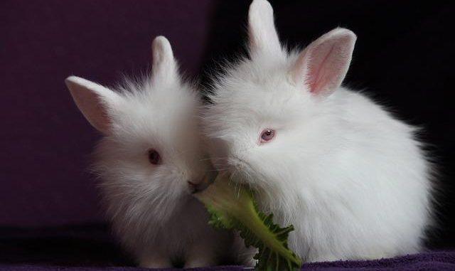 Características de los Conejos Angora