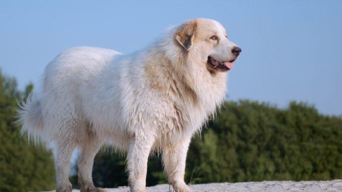 Historia del Perro de Montaña de los Pirineos