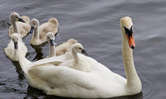 Resultado de imagen para cisne