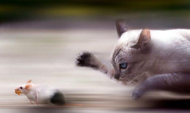 C mo ense ar a tu gato a cazar ratones consejos para tu gato - Como cazar ratones ...