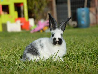 Cuáles son los Principales Peligros para un Conejo