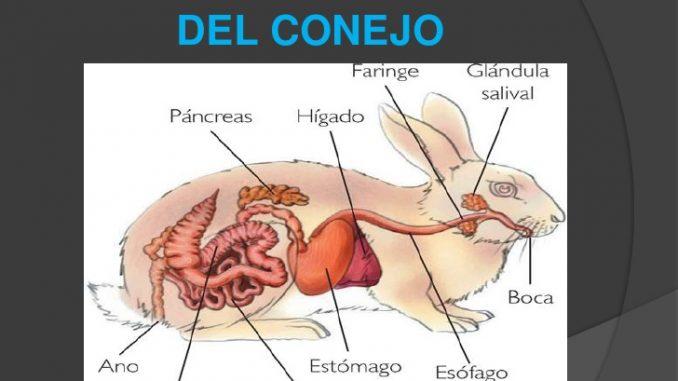 Anatomía y Fisiología de un Conejo. Veamos sus características