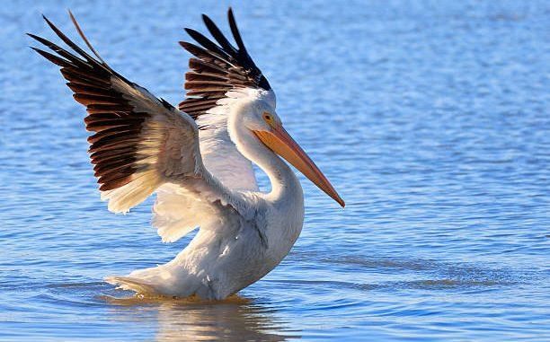 O Pelicano Distribuidora Características d...