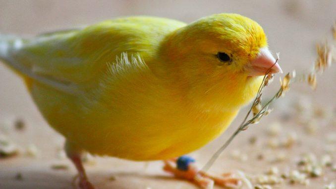 Alimentación y Nutrición de los Canarios