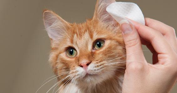 Cómo Limpio las Orejas y Ojos de mi Gato