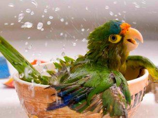 Cómo Puedo Bañar a mi Loro